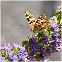 Pride of Madeira and butterfly by Photographia-Paulo