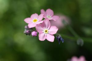 pink forget me nots by Gothic-Dreamscapes