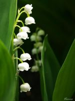 Lily of the valley. by Varnes