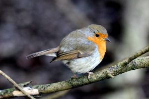 Cheeky Little Robin by s-kmp
