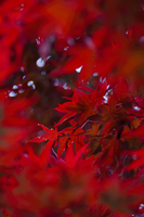 Bokeh Red by maxre