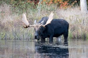 Moose by PeterDeBurger