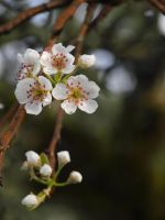 Pear Blossom 05 by botanystock