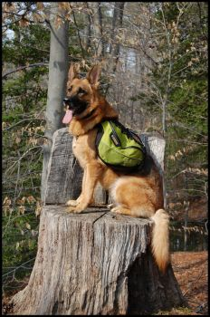 Pack Dog by MauserGirl