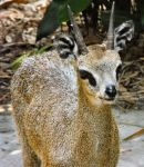 klipspringer by HippieVan57