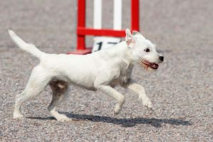 Agility: Parson Russel Terrier by furbyprince