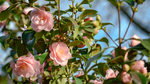 Old Fashion Roses Wallpaper by Pierre-Lagarde