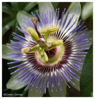 Passion Flower by CapturedCosmicDebris
