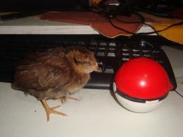 pollo entra en la pokebola by berny17
