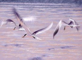 Terns in flight by RobertMancini