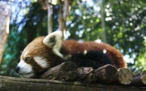 Relaxed Red Panda by Makki-Summer