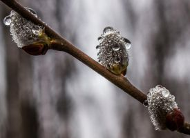 Raindrops On Pussy Willow Tree by MegnRox15
