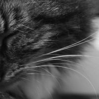 whiskers by LeaHenning