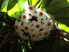 hoya flower by marob0501