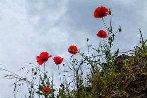 Coquelicots by hubert61