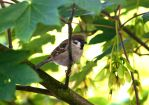 Summer Sparrow by PenguinPhotography