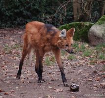 maned wolf body shot by KIARAsART