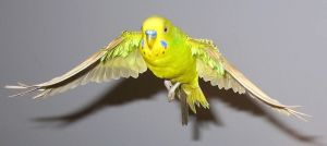Budgie in flight 17 by greencheek