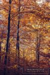 6592-Autumn by Finvara