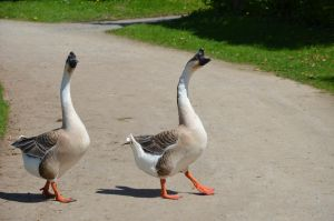 geese II by mimose-stock