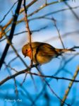 Red Robin by PictureByPali