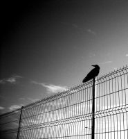 The crow by Spufff