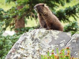Peeping Rocks Marmot by sassytay223