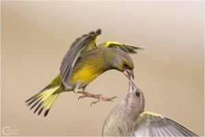 Greenfinch by ClaudeG