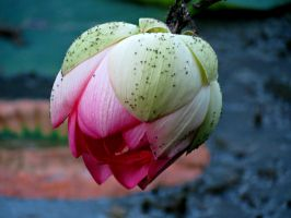 Lotus Hanging Down by Michies-Photographyy