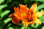 Tiger Lily by Rrraa