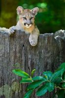 Curious Cougar by xthumbtakx