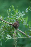 Brown Finch. by FallMoonlitRose
