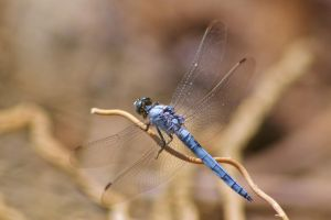 Dassia dragonfly August 2014 5 7 by melrissbrook