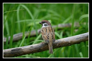 Just A Sparrow by Keith-Killer