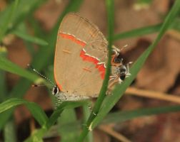 Red banded Hairstreak by paws720