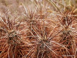 Devil's Cholla Needles by ClymberPaddler