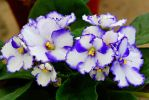 African violet flower 1 by a6-k