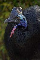 Double-wattled Cassowary by robbobert