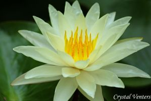 White Water Lily 2 by poetcrystaldawn