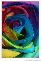 Happy Roses 6 by MarjoleinART-Photos