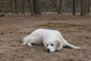Great Pyrenees 4 by pinkroseart