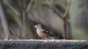 Chaffinch (Male) by BoyWonderRobin