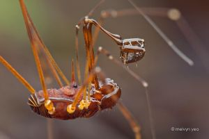 Harvestman by melvynyeo