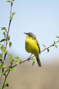 Yellow Wagtail by AnAE11