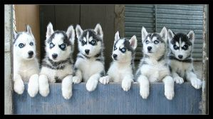 Husky Family by antiparticle