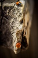 Ladybugs by Mary-SD