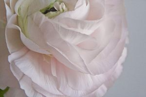 French rose by REI-BCN