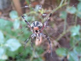 Garden Spider 1 by Eris-stock