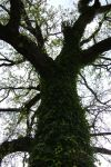 Viney Tree by HiddenYume-stock