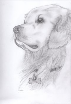 Holly the Golden Retriever by gemgembo